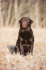 chocolate labrador retriever dog sitting outdoors