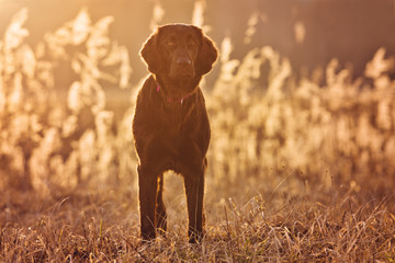 flat coated retriever dog at sunset