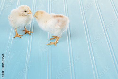 Foto op Canvas Kip Two baby chicks on a blue background