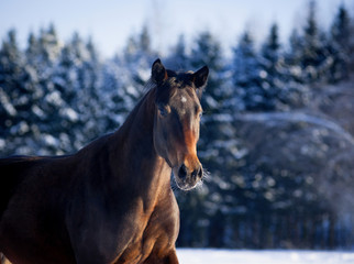 Bay horse portrait in winter