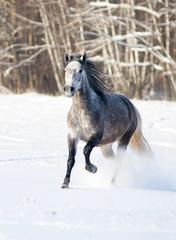 grey horse runs free in winter