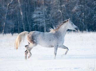grey arab mare runs free in winter