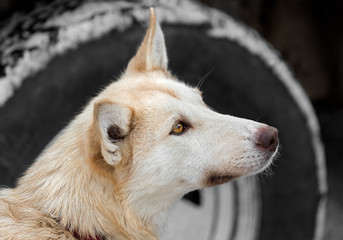 Sled Dog by Truck Tire Looks Up