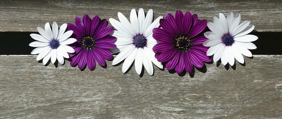 white and purple daisies