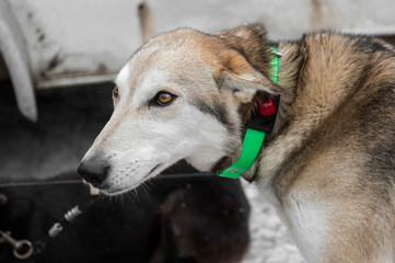 Lead Sled Dog with Lighted Collar