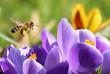 Biene sammelt Pollen für Honig - 79918456