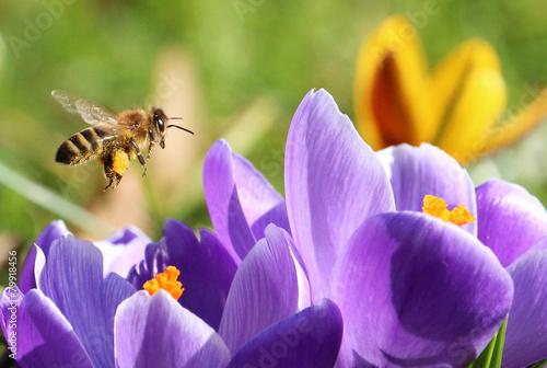 Keuken foto achterwand Bee Biene sammelt Pollen für Honig