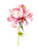 The single flowering pink peony