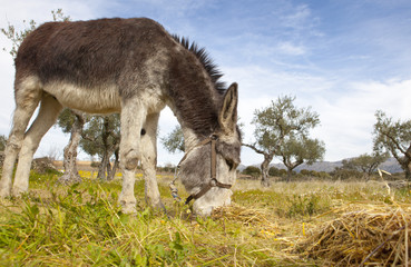 Donkey grazing closeup