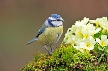 Blue tit standing next to primrose