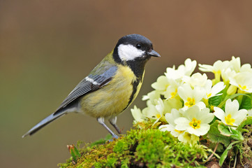 Great tit standing next to primrose