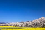 水仙と桜並木1