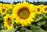 Large happy sunflower and sunflower oil crop on a sunny day in t