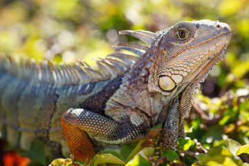 Close-up of a male Green Iguana