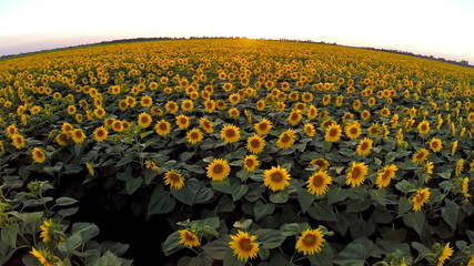 AERIAL: Flight over the sunflower  field in sunset