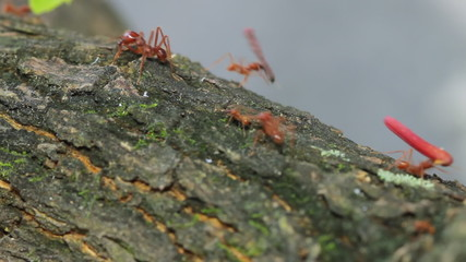 Red Ant Food Line