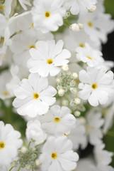 桜草 6月の花嫁をイメージ