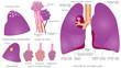 Human pulmonary system
