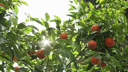 Branch orange tree in the sunlight