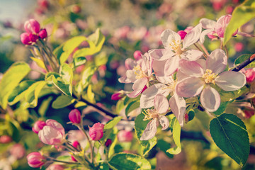 floral spring background flower of blossoming apple tree instagr
