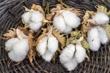 cotton - Gossypium hirsutum L. in basket