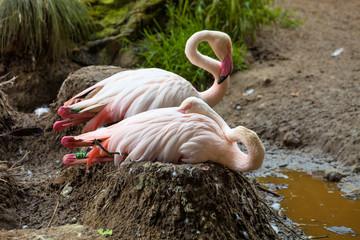 Rosy Flamingo, Phoenicopterus ruber roseus