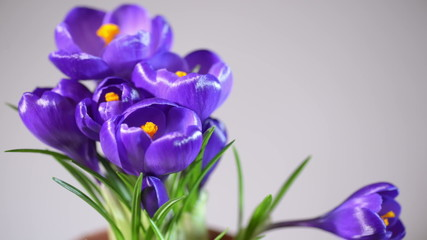 Crocus flowers blooming in timelapse