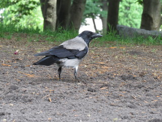 Crow walking on green grass at park.