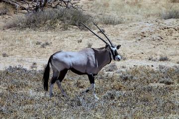 lone male Gemsbok, Oryx gazella, Kalahari, South Africa