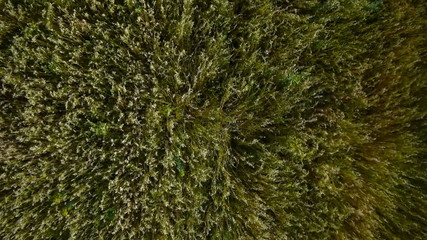Aerial Overflight of a yellow wheat field