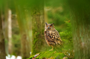 Eurasian eagle-owl in forrest