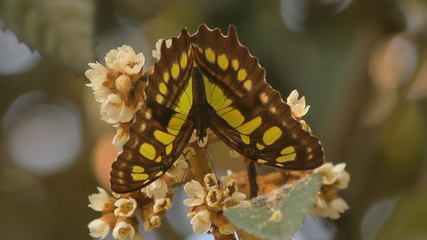 Swallowtail Butterfly Feeding Facing Down