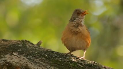 Robin Bird Singing Three Takes