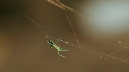 Orchard Spider Webbing Ant Sequence