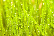 green spring grass with dew