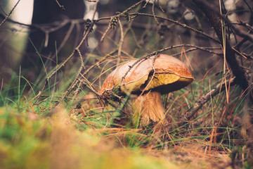 Wild mushroom in the forest