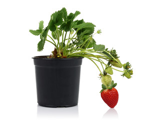 Strawberry plant and pot