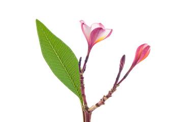 The beaultiful plumeria or frangipani isolated