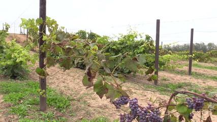 grape plantation branch entwine on stake