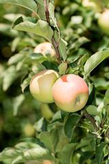 apples on a tree