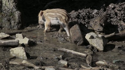 Wild piglet drinks water from a stream