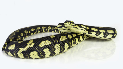a jungle carpet python