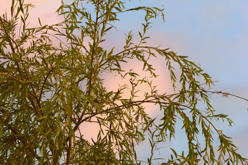 Willow on background of sunset summer sky
