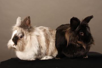 Hase, Kaninchen, Haustier, Zwergkaninchen, Babyhase