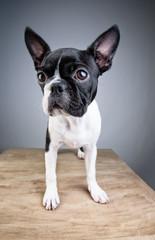 Boston Terrier Studio Portrait