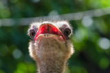 closeup of a head of ostrich