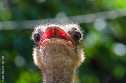 In de dag Struisvogel closeup of a head of ostrich