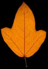 feuille sèche d'automne sur fond noir