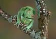Frog Dog - 79957002