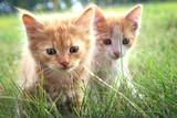 Fototapety two kitten on green grass